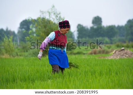 DALI, CHINA - JUNE 7: Chinese farmer works on rice field on June 7, 2014 in Dali, China. For many farmers rice is the main source of income (around $800 annual).