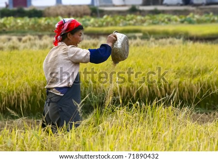 DALI, CHINA - MAY 22: Chinese farmer works hard in rice field on May 22, 2010 in Dali, China. For many farmers rice is the main source of income (around $800 annual).