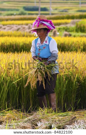 DALI, CHINA - MAY 22: Unidentified Chinese farmer works in a rice field on May 22, 2010 in Dali, China. For many farmers rice is the main source of income (around $800 annual).