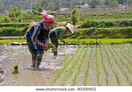 DALI, CHINA - MAY 25: Unidentified Chinese farmers work hard on rice field on May 25, 2011 in Dali, China. For many farmers rice is the main source of income (around $800 annual).