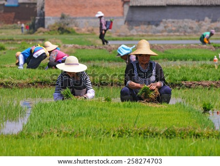 DALI, CHINA - MAY 11: Unidentified Chinese farmers work on the rice field on May 11, 2013 in Dali, China. For many farmers rice is the main source of income (around $800 annual).