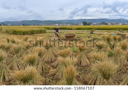 DALI, CHINA - OCTOBER 5: Unidentified Chinese farmer works in a rice field on October 5, 2013 in Dali, China. For many farmers rice is the main source of income (around $800 annual).