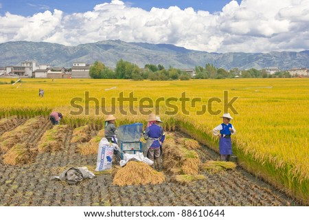 DALI, CHINA - SEPT 23: Unidentified Chinese farmer works in a rice field on Sept 23, 2011 in Dali, China. For many farmers rice is the main source of income (around $800 annual) - stock photo