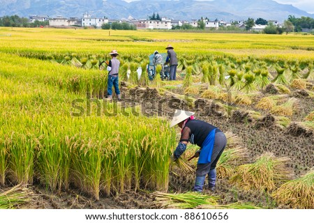 DALI, CHINA - SEPT 23: Unidentified Chinese farmer works in a rice field on Sept 23, 2011 in Dali, China. For many farmers rice is the main source of income (around $800 annual)
