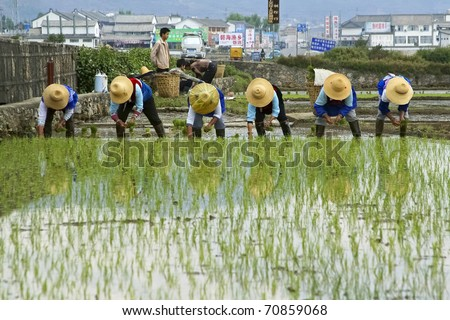 DALI - MAY 22: Chinese farmers work hard on the rice field on May 22, 2010 in Dali, China. For many farmers rice is the main source of income and people have to work hard for this.