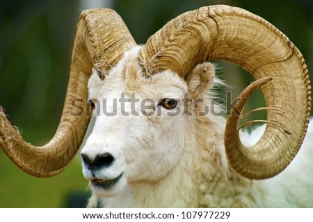 Dall Sheep Closeup / The Dall Sheep, Ovis Dalli, is a Species of Sheep Native to Northwestern North America Included South Dakota, Wyoming, Colorado, Idaho, Montana. Dalls Sheep Big Horns