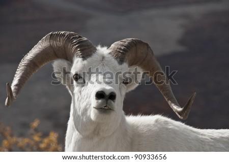animal srating dall
