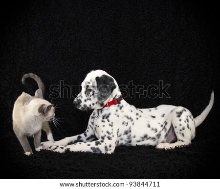 Dalmatia puppy trying to make friends with a kitten on a black background with copy space.