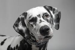 Dalmatian black and white portrait