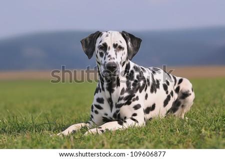 Dalmatian Dog - stock photo