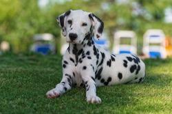 Dalmatian dog in a green garden