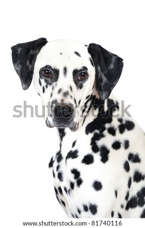 Dalmatian dog in studio in front of white background