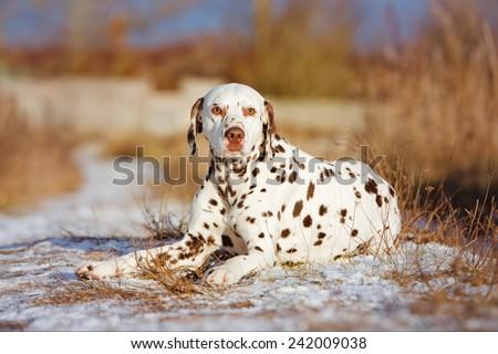 dalmatian dog lying down