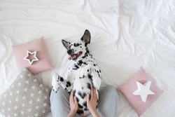 Dalmatian dog lying on her back with paws up wishing for a tummy rub. Dog in bed resting and yawning among pillows with stars pattern. Funny, cute dog's muzzle. Good morning concept. Flat lay