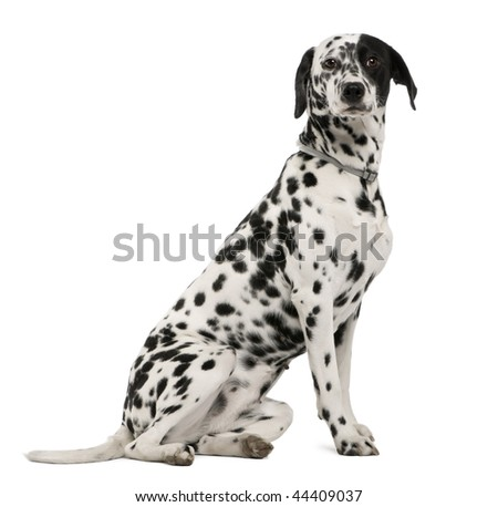 Dalmatian dog, 18 months old, sitting in front of white background, studio shot
