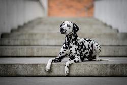 Dalmatian dog on the street