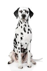 Dalmatian dog on white a background