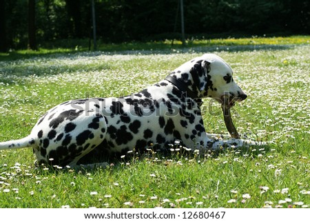 Dalmatian dog playing with a branch in an open field.