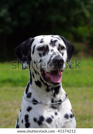 Dalmatian dog portrait green background - stock photo