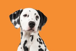 Dalmatian dog portrait on an orange background