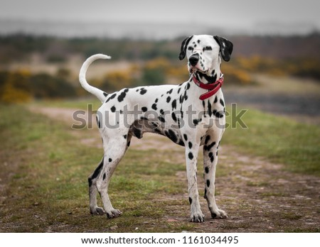 Dalmatian dog portrait stood up tall