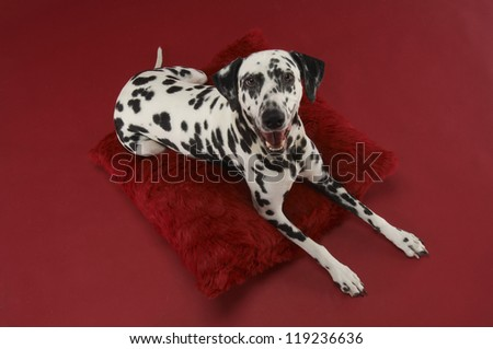 Dalmatian dog relaxing on cushion over red background