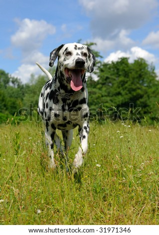 Dalmatian dog running on the lawn