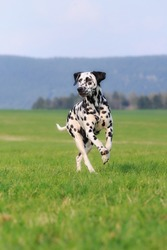Dalmatian Dog running  over the meadow