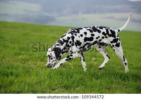 Dalmatian Dog sniffing