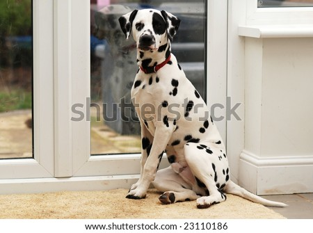 Dalmatian dog wants to go for a walk
