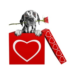 Dalmatian dog with rose sitting in valentines box. Isolated on white background