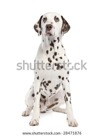 Dalmatian () in front of a white background