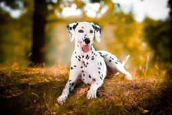 dalmatian  in grass black and white dog
