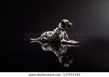 Dalmatian lying down in front of black background, studio shot.