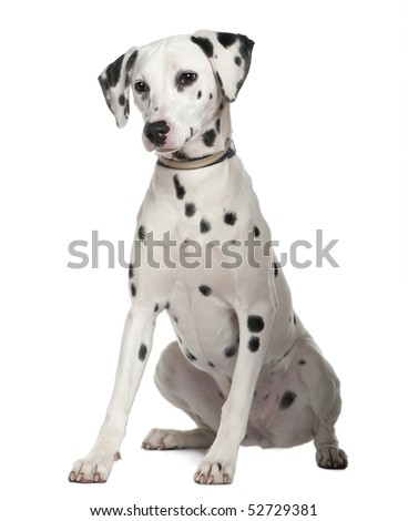 Dalmatian, 8 months old, sitting in front of white background