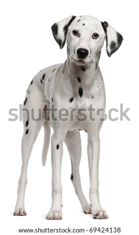 Dalmatian, 18 months old, standing in front of white background