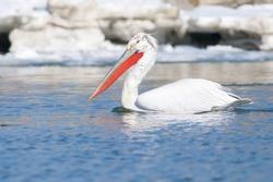 Dalmatian Pelican in winter