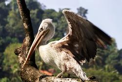 Dalmatian pelican (Pelecanus crispus) spread its wings. Sri Lanka birds