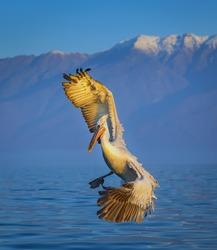 Dalmatian pelicans at Lake Kerkini, Greece
