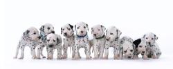 Dalmatian puppies on white background
