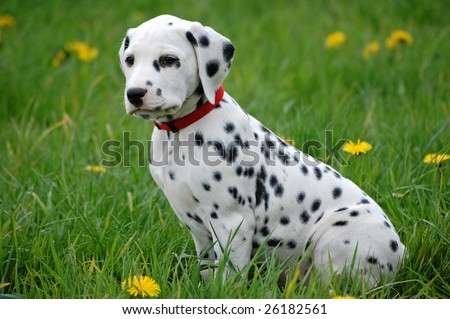 Dalmatian Puppies on Dalmatian Puppy Stock Photo 26182561   Shutterstock