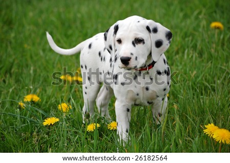Dalmatian Puppies on Dalmatian Puppy Stock Photo 26182564   Shutterstock