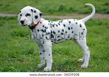 Dalmatian Puppy - stock photo