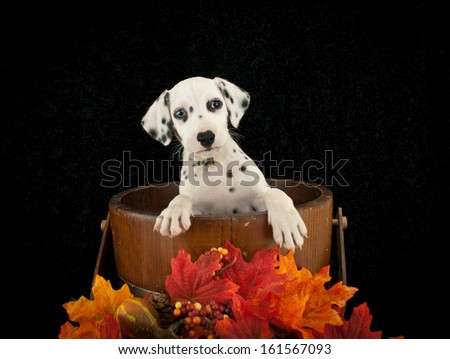 Dalmatian puppy in an old bucket with fall decor around him, on a black backdrop.