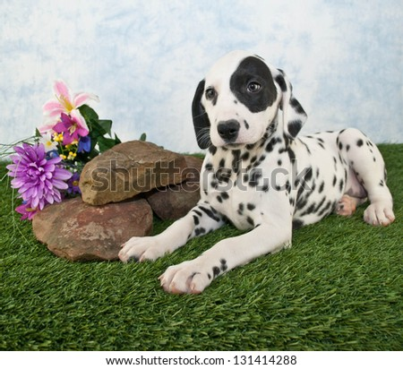 Dalmatian puppy laying in the grass with rocks and wild flowers around her.