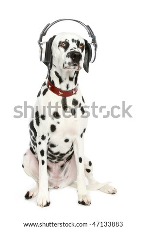 Dalmatian puppy listening to music on headphones.