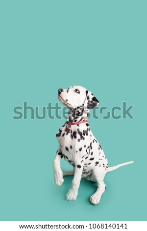 Dalmatian Puppy on Isolated Background #1068140141
