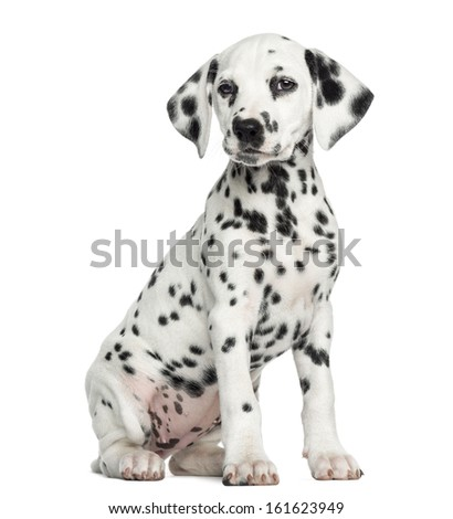 Dalmatian puppy sitting, isolated on white #161623949