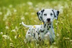 Dalmatian puppy standing in a dandelion meadow