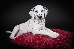 Dalmatian puppy with Christmas decorations in studio